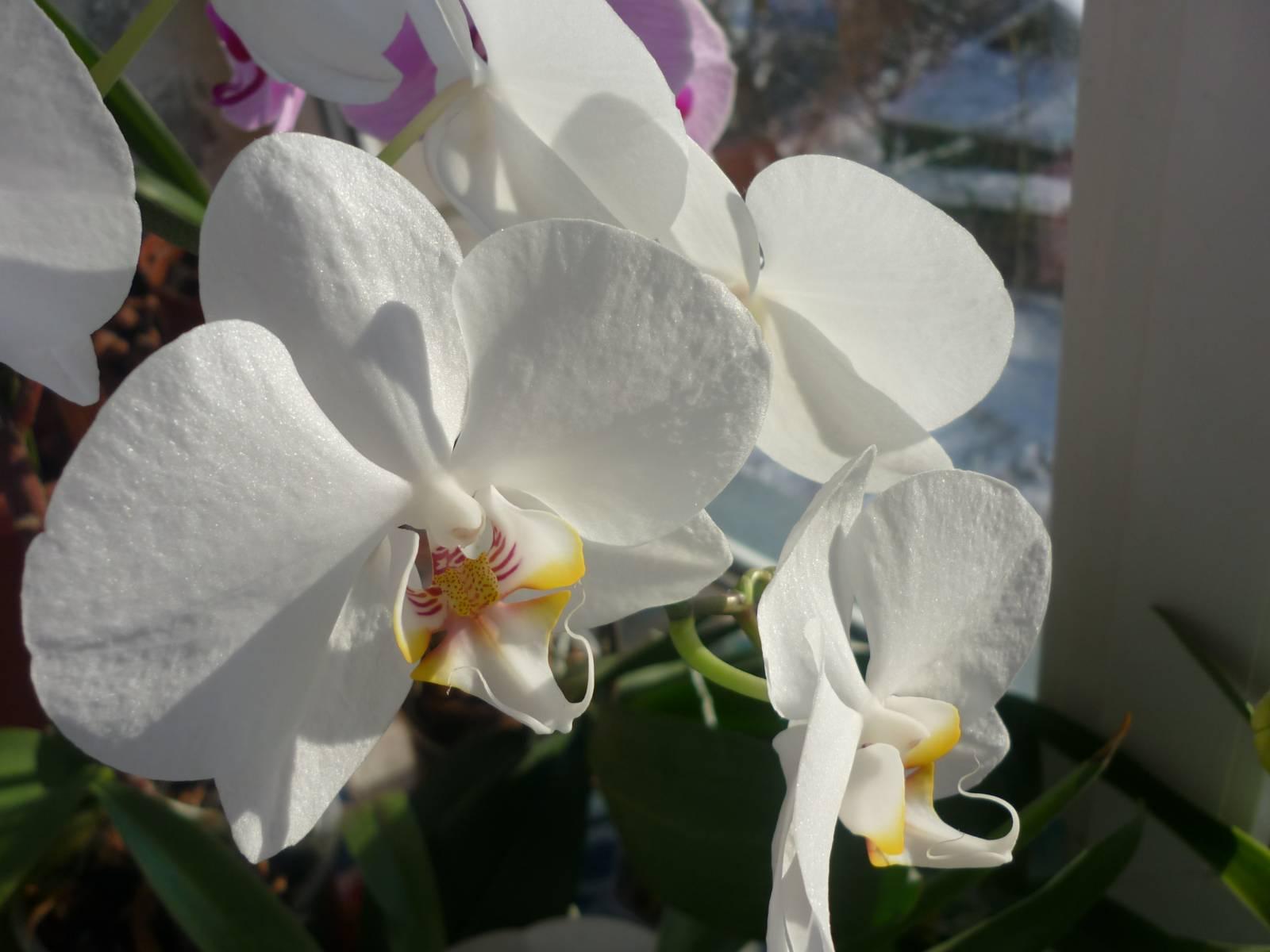 Цветы фаленопсис фото с названиями
